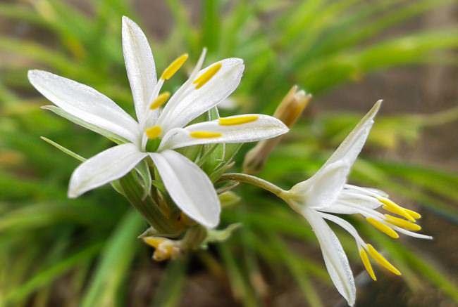 Цветение хлорофитума может наблюдаться в любое время года