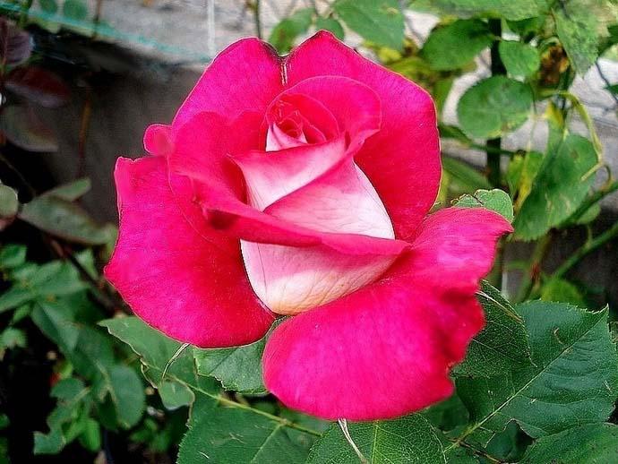 Роза Моника Белуччи обладает лепестками розового цвета со сливочно-желтым реверсом