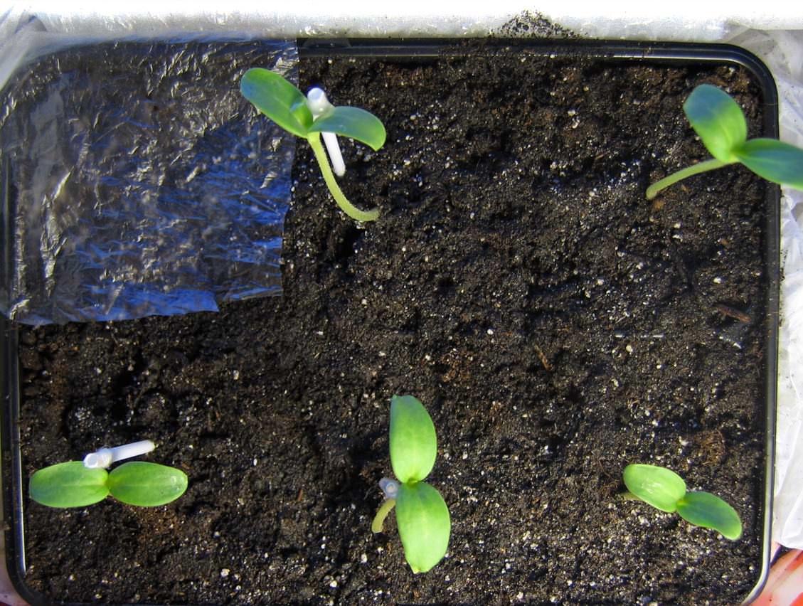 В условиях Подмосковья и средней полосы России эту бахчевую культуру выращивают в открытом грунте, но рассадным методом