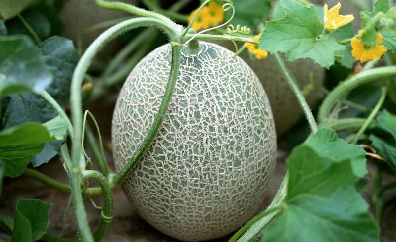 При выборе сортов для конкретного региона нужно обращать внимание на то, приспособлены ли сорта, чтобы расти в тепличных условиях или непосредственно на участке