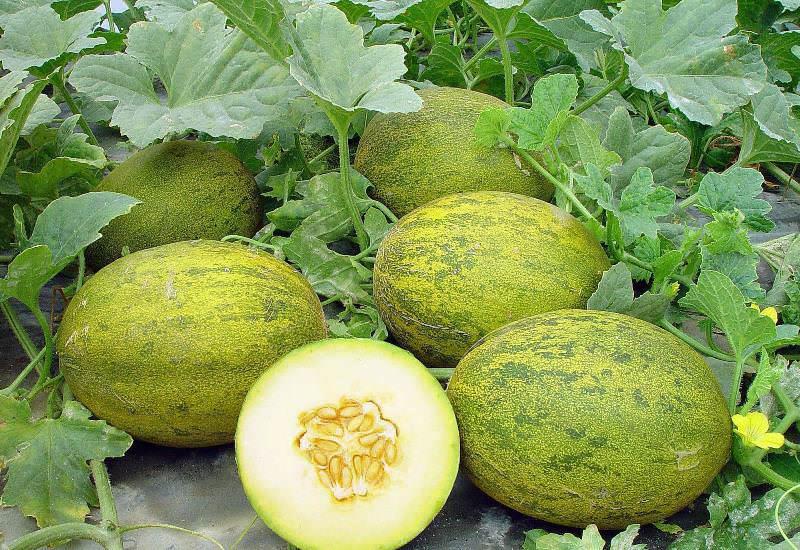При выборе сортов для конкретного региона нужно обращать внимание на то, приспособлены ли сорта, чтобы расти в тепличных условиях