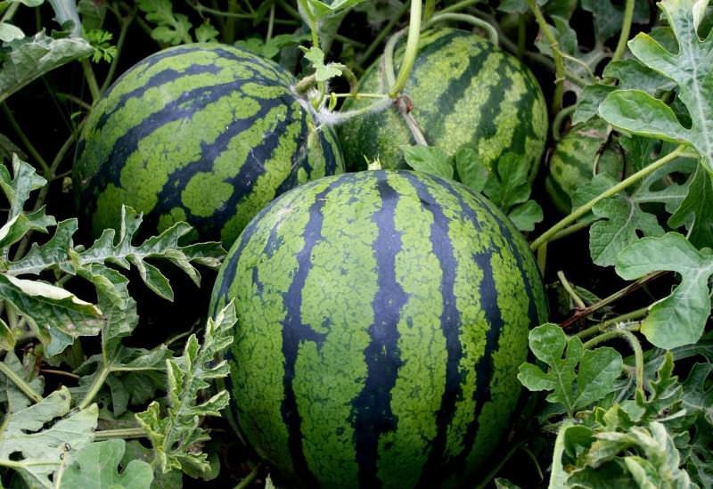 Созревающие плоды необходимо периодически переворачивать с одного бока на другой, чтобы они зрели равномерно