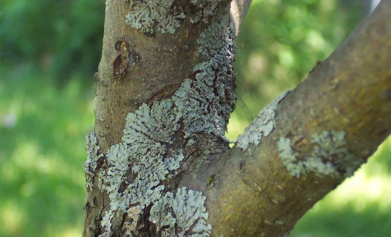 Чёрный рак — это опасное грибковое заболевание плодовых культур, которое поражает кору, ветки, листья, а также фрукты