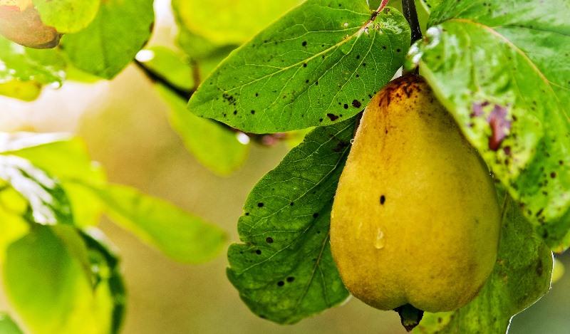 Урожай груш в середине лета часто поражается грибковой инфекцией, которую называют плодовой гнилью или манилиозом