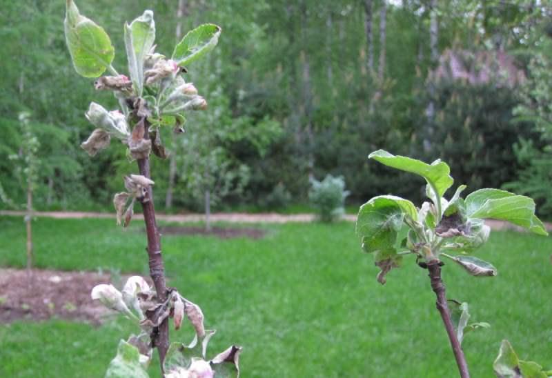 Мучнистая роса — это грибковое заболевание, которому подвержены груши в саду
