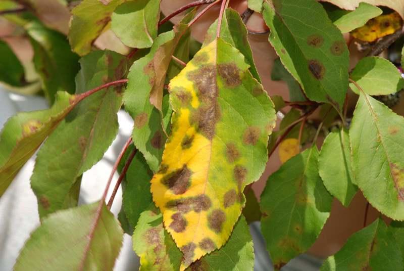 Хлороз характеризуется неожиданно появившиеся жёлтые листья, которые со временем тускнеют и отмирают
