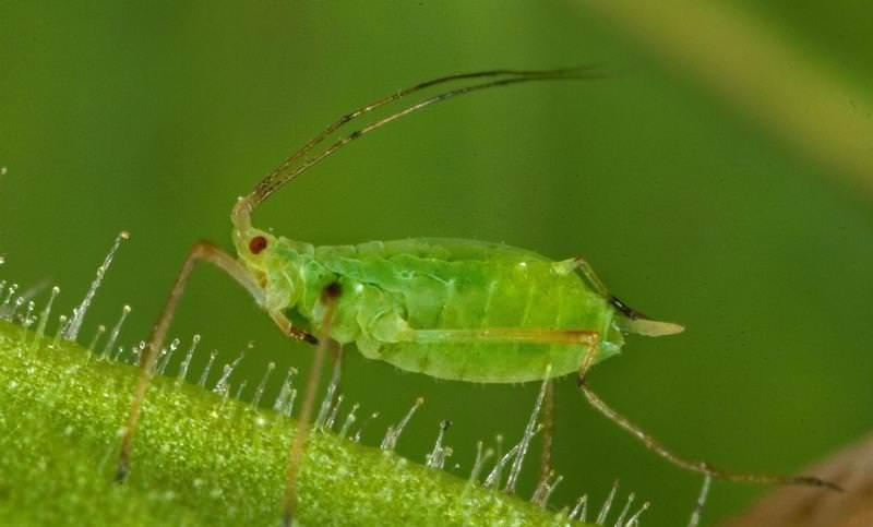 Зелёная тля паразитирует на груше, высасывая клеточный сок из листвы