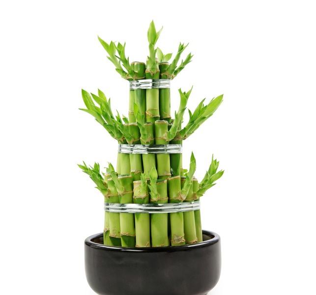 Драцена сорта сандера - это неприхотливое многолетнее растение