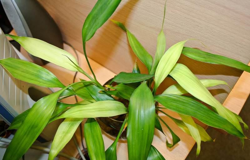 Драцена - замечательное домашнее растение для ленивых хозяев