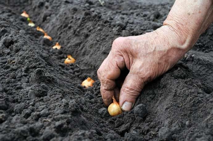 Высаживать луковицы необходимо на расстоянии не менее 10−12 см