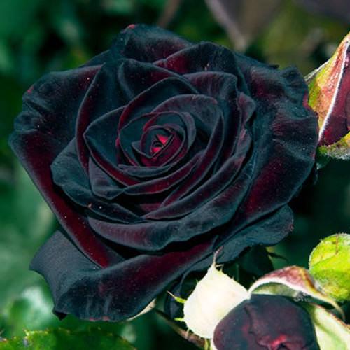 Роза Черный принц снискала популярность у многих цветоводов