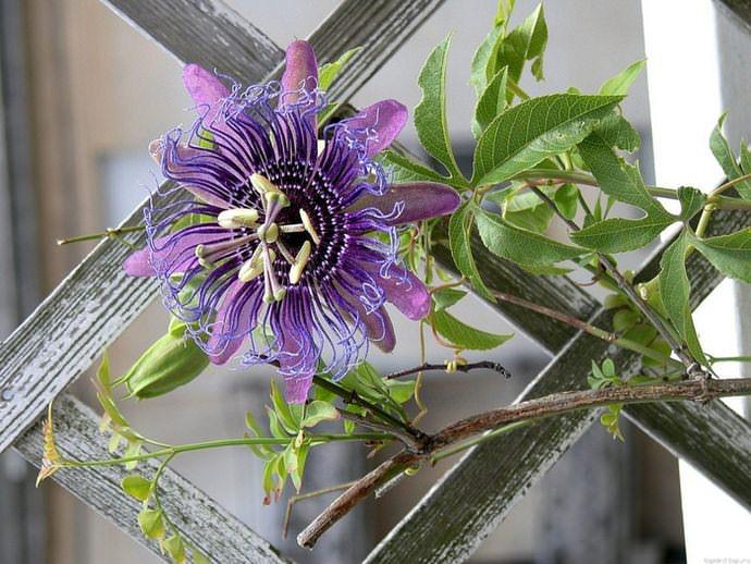 Цветение наблюдается исключительно на молодых плетях пассифлоры