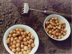 Посадка семейного лука весной дает возможность огородникам получить богатый урожай