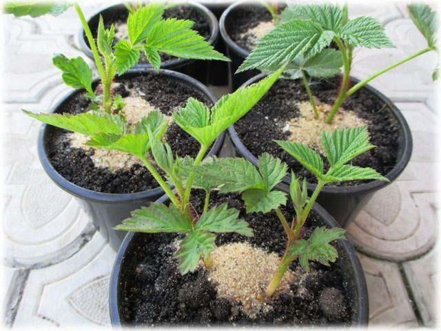 Разводить малину черенкованием рекомендуется весной, но при необходимости такое мероприятие можно проводить и осенью