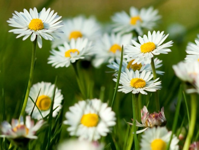 В нашей стране ромашка садовая выращивается как декоративное растение в садах