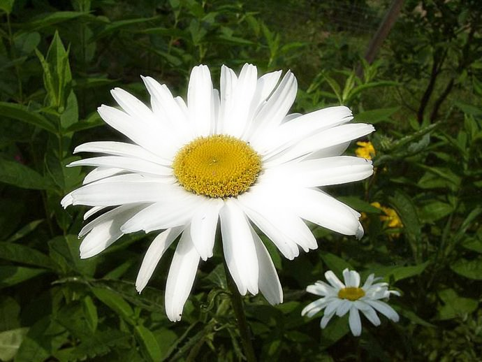 Северная звезда – это очень распространенный и популярный у садоводов сорт