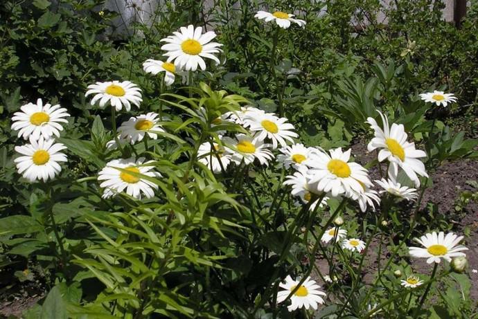 Серебряная принцесса – сорт относится к низкорослым растениям, он достигает высоты не более тридцати сантиметров