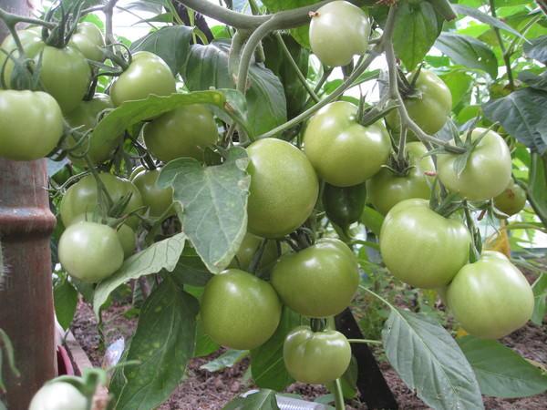 Выращивание помидоров сортов Верлиока и Верлиока плюс производится исключительно в теплицах