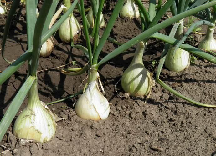 Сегодня многие огородники предпочитают высаживать лук согласно лунному календарю, и это верное решение