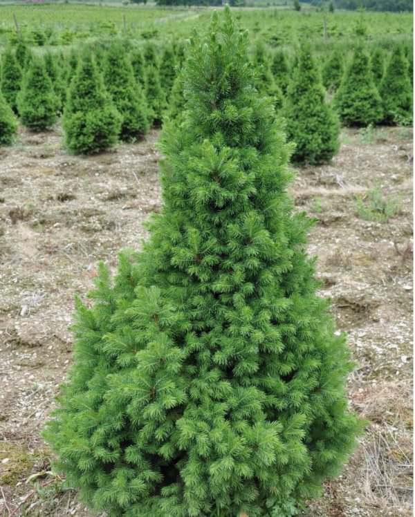 В садах и парках ель Glauca conica вырастает полностью годам к 50