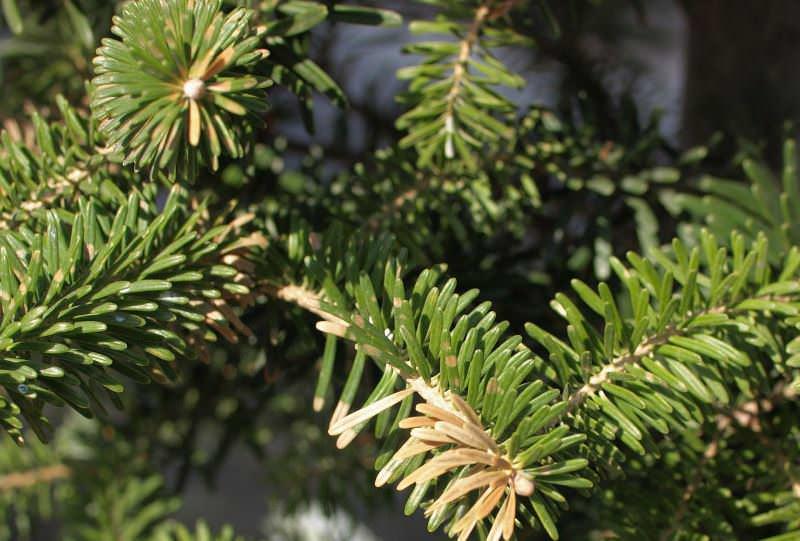 Ель глаука коника – одно из прекрасных декоративных растений