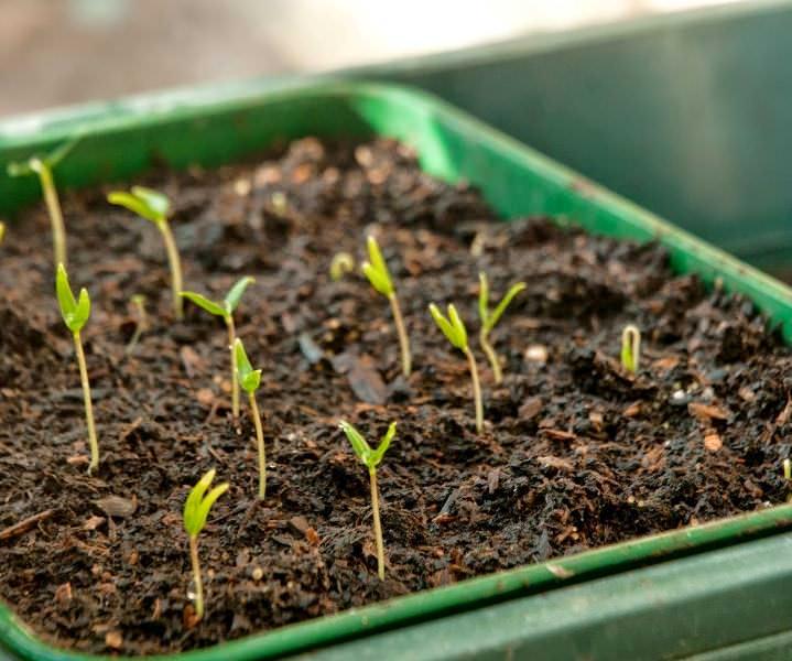 Приступать к посадке семян сорта Эпик F1 можно уже в конце февраля