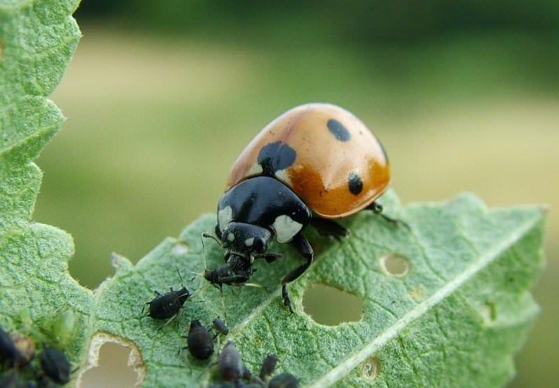 Иногда баклажаны сорта Эпик F1 подвергаются атаке вредных насекомых