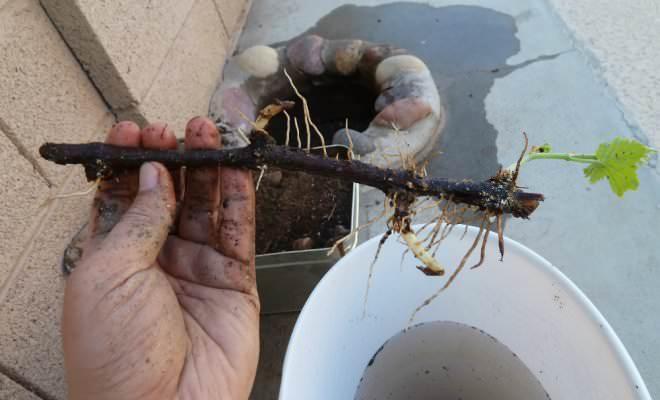 Корневыми или одеревеневшими черенками размножать кусты малины лучше всего осенью