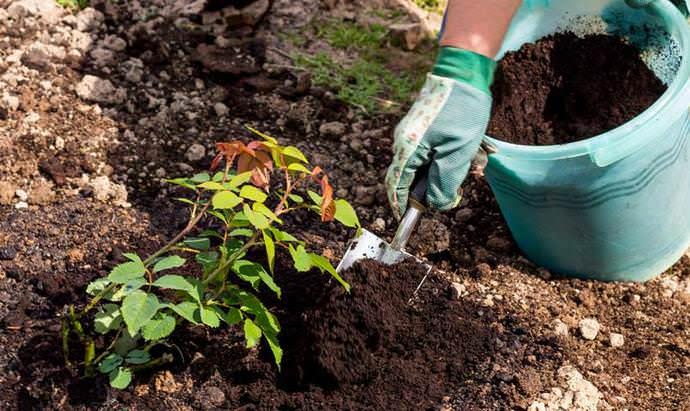Рекомендуется мульчировать почву под розами Глория Дэй