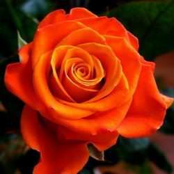 Розы Моника отличаются элегантными бутонами и красивой окраской