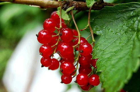 Красная смородина приспособлена к умеренным климатическим условиям