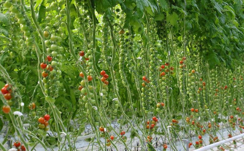 Период от всходов до сбора первого урожая сорта Рапунцель при выращивании в теплице составляет немногим более двух месяцев