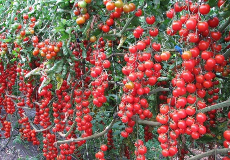 Сорт Рапунцель относится к категории очень плодовитых, а сами плоды располагаются достаточно компактно на каскадного типа кисти