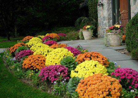 Хризантема популярна в садово-парковом оформлении