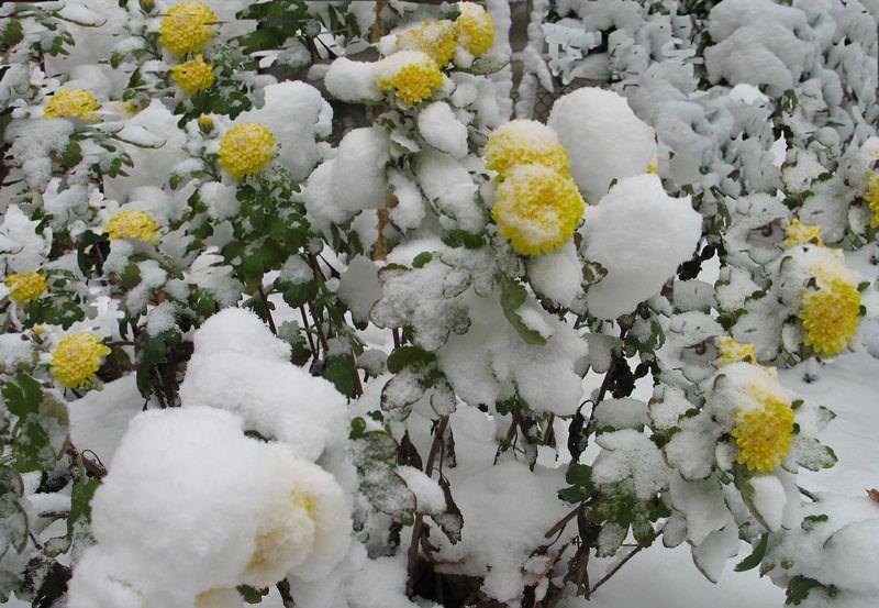 Многие мелкоцветковые сорта садовой хризантемы очень хорошо зимуют при условии обрезки кустов до высоты 20 см