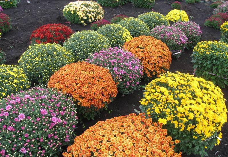 Форма, величина и окраска соцветий хризантем варьируется