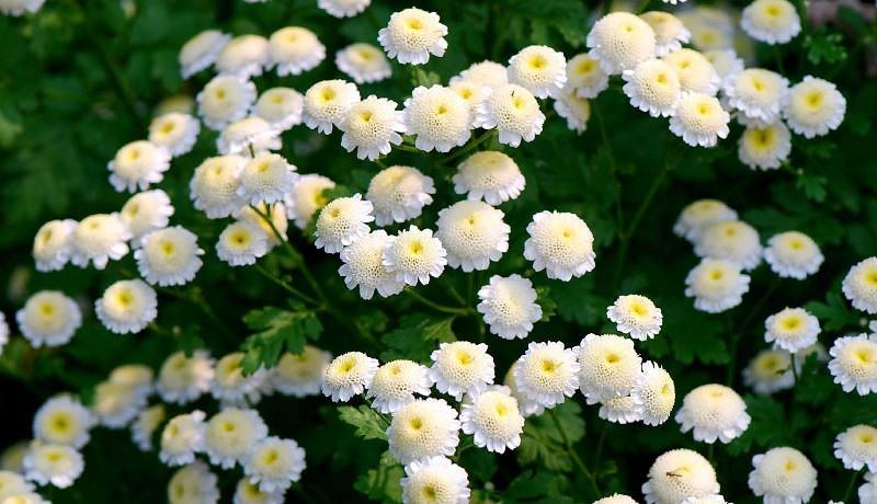 Садовая хризантема является многолетним или однолетним растением