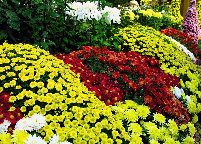 Хризантемы не любят даже незначительного затенения, а также задержки влаги в грунте, поэтому место для выращивания растения должно быть максимально солнечным и слегка возвышенным