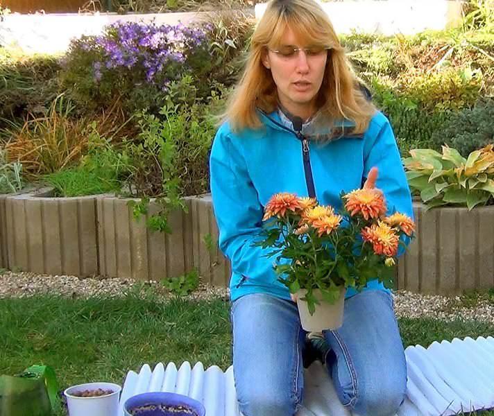 Приобретая саженцы хризантемы, необходимо обращать внимание на состояние их здоровья