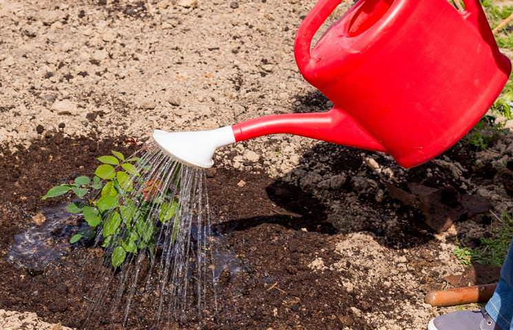 Чтобы подкормки активнее проникали в слой почвы, опутанный корнями, рекомендуется перед подкормкой и сразу после нее щедро поливать розы отстоянной водой