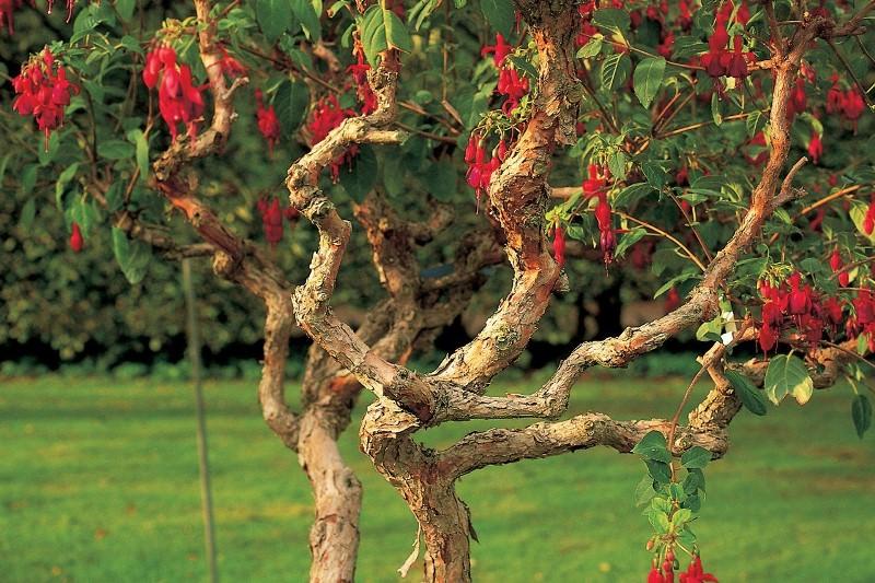 Листья растения зеленые, но могут быть с красным оттенком
