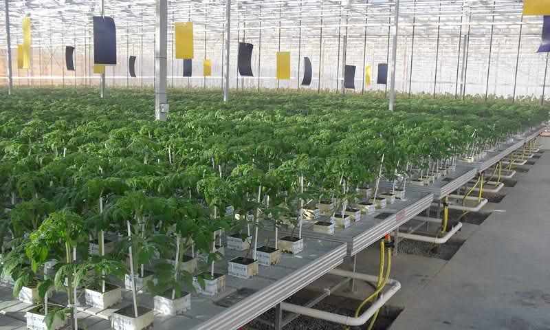 В теплицах проводят дезинфекцию дважды – первый по окончании сбора урожая, второй раз после уборки растительности
