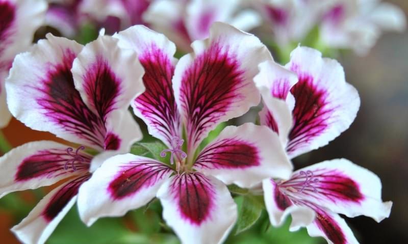 В отличие от других сортов герани, царская особь имеет довольно непродолжительный период цветения