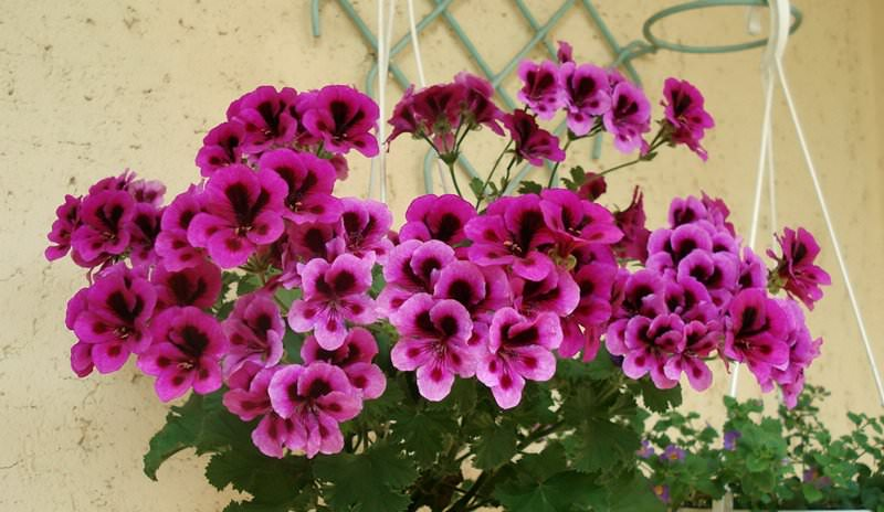 Потребность в удобрениях герань королевская испытывает в период активного роста, образования бутонов, цветения