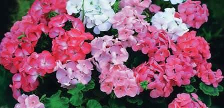 О полезных свойствах герани известно не всем любителям этого цветущего растения