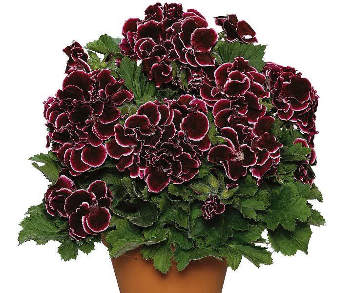 Надземную часть пеларгонии дикорастущей собирают в момент цветения – обычно со второй декады июня и до начала осени