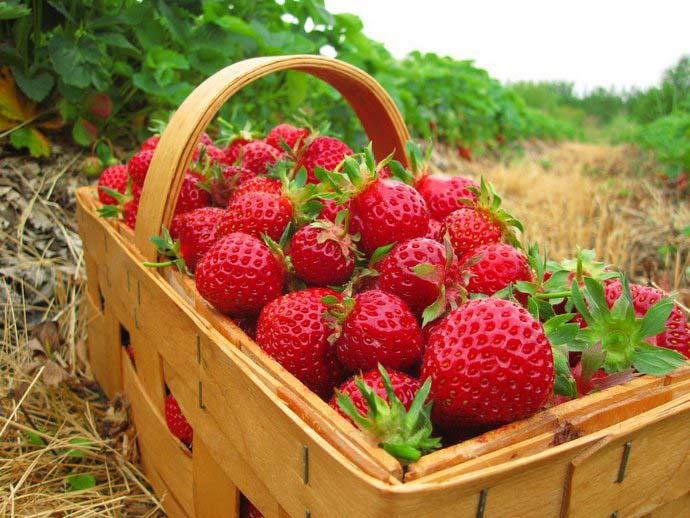 Садоводы отмечают то, что ягоды клубники Фестивальной и Фестивальной ромашки обладают привлекательным вкусом