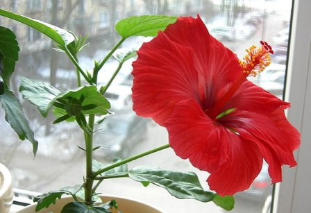 Гибискус комнатный, который иначе называют китайской розой, пользуется большой популярностью у садоводов