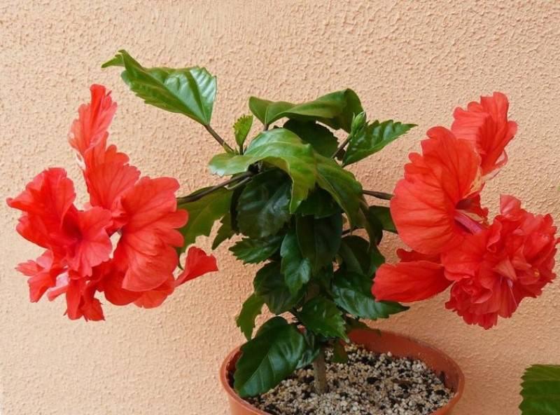 У гибискуса комнатного, уход за которым осуществляется по всем правилам, прекрасный внешний вид и пышное цветение