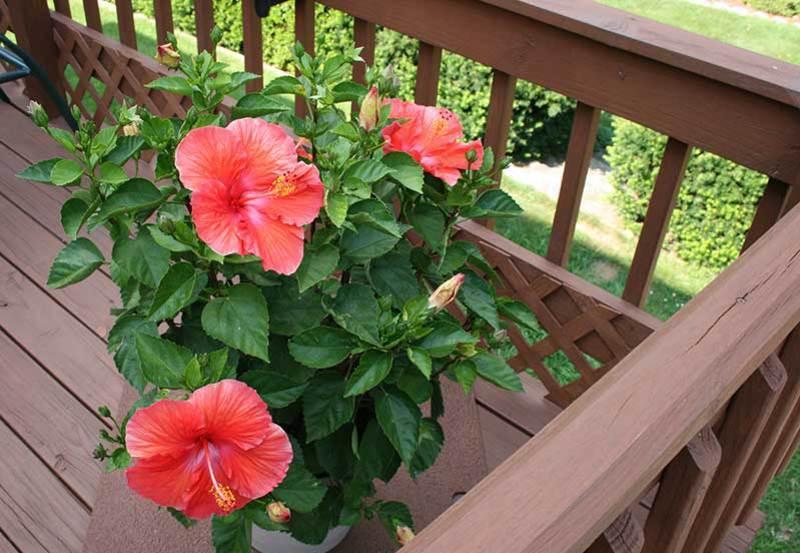 Жители востока верят, что прекрасное растение обладает поистине чудодейственными свойствами